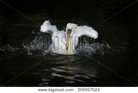 waterfowl curly white Pelican floating on the dark lake and splashes drops with wide fenders