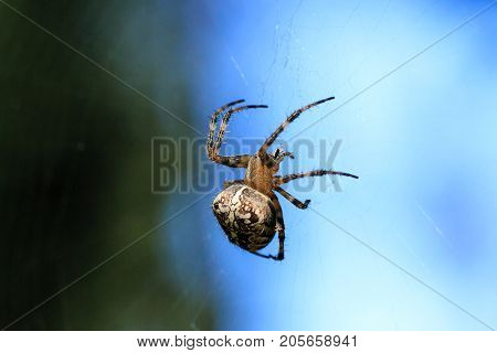 Macro Photo Of A Spider Close-up. A Spider Weaves A Spider Web. Araneus Close-up Sits On A Cobweb. A