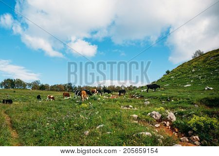 Cows grazing on green meadow in mountains. Cattle on a mountain pasture. Cow in pasture. Mountain meadow, summer landscape.