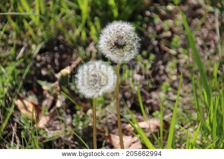 Fragile white dandelion seeds waiting penitently to be carried away by the wind