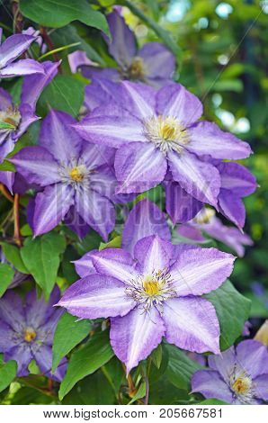 Blossom of clematis. Purple flowers of clematis closeup. Blooming clematis in the garden.