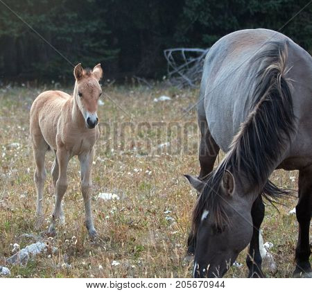 Baby Foal Colt Wild Horse Mustang With His Mother In The Pryor Mountains Wild Horse Range On The Bor