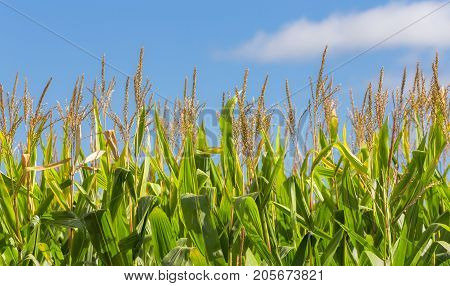 Close-up Of Tall Field Of Corn