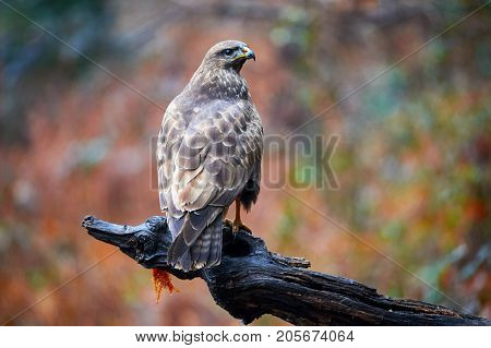 Common buzzard (Buteo buteo) a bird of prey that have a large variety of plumage
