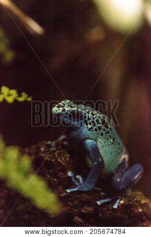 Blue Poison Dart Frog Dendrobates Tinctorius Azureus