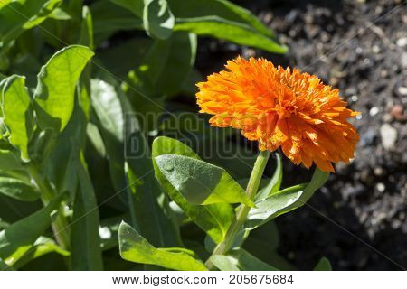 Single Orange Calendula Officinalis, Double Cultivar