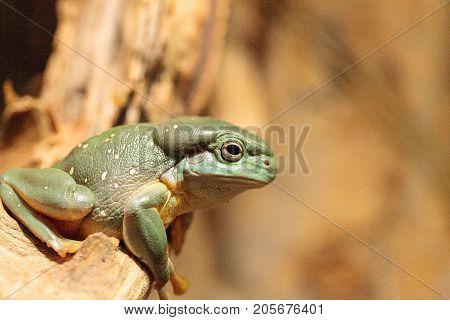 Magnificent Tree Frog Litoria Splendida