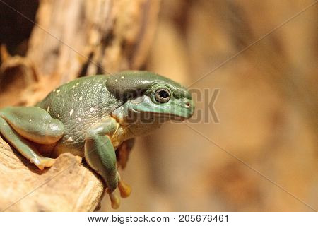 Magnificent tree frog Litoria splendida can be found in Australia and can be found in caves. poster