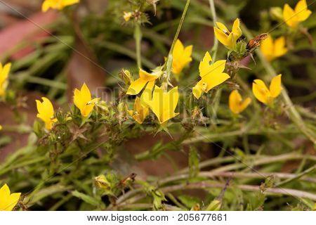 Yellow Lobelia (monopsis Lutea)