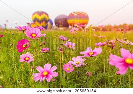 Close up cosmos flowers field with group hot air balloons background Chiang Rai Province Thailand