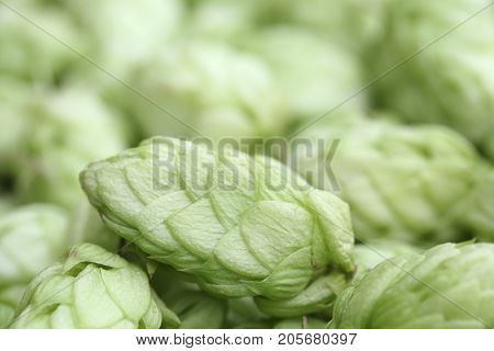 Close up of hop cones on blure background of hops