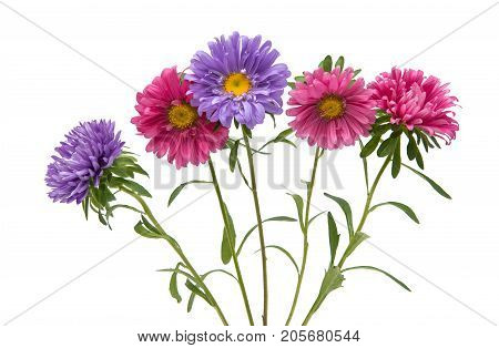 Aster flower Flora isolated on white background