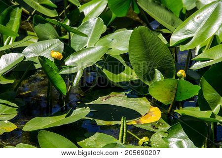 Yellow Water Flowers (nuphar Lutea)