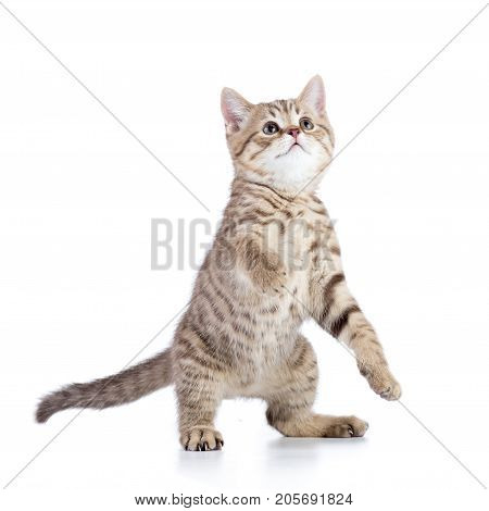funny playful cat kitten is standing isolated
