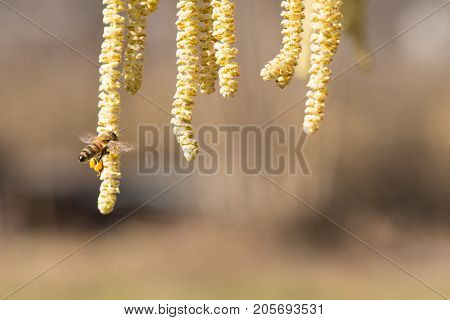 Bee On Hazel Plant