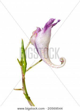 Flower (impatiens)