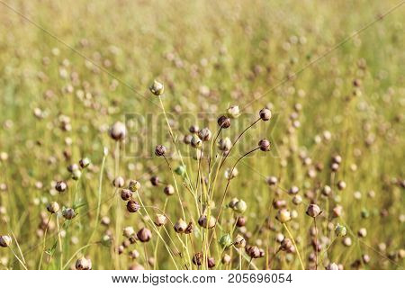 flax flowers faded field ,  in summer poster