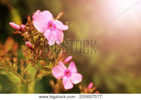 gentile pink flowers on the white background sunlight