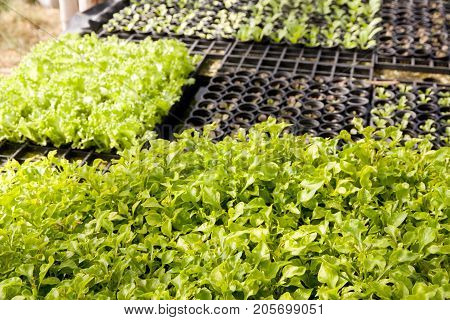 Organic hydroponic lettuce and Watercress (Nasturtium officinale) cultivation farm.