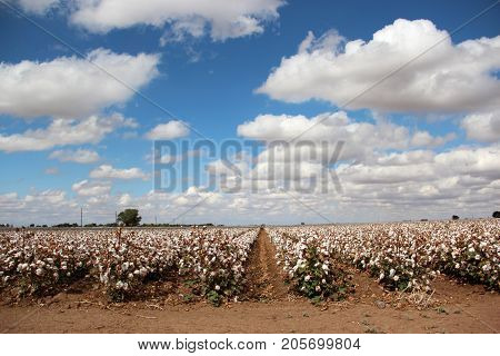 Rows of Cotton Blooming in Farmer's Field Under Blue Sky with Clouds Ready for Harvest
