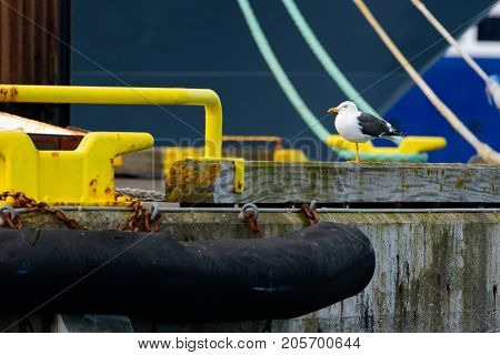 Seagull standing on one leg in the colorful Reykjavik harbor in Reyakjavik Iceland at beginning of the June 2017.
