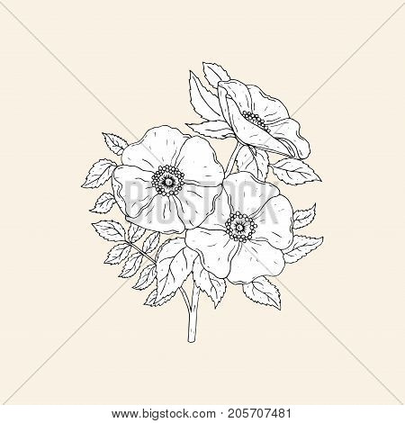 Elegant botanical drawing of beautiful dog roses growing on stem with leaves. Gorgeous blooming flowers hand drawn with contour lines in antique style. Monochrome floral vector illustration