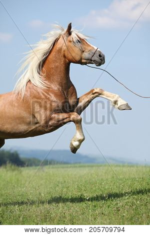 Amazing Haflinger Stallion Prancing In Front Of Nice Sky