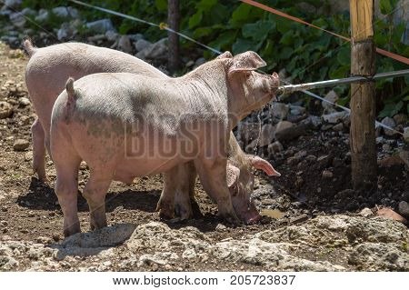 Little Domestic Pigs Quenching their Thirst from Pipe in a Farm