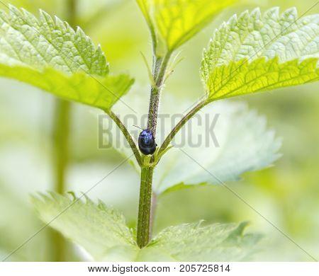 alder leaf beetle in green natural ambiance