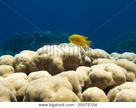 Gelber Fisch auf der Coral