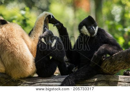 flock of siamang gibbon on tree branch