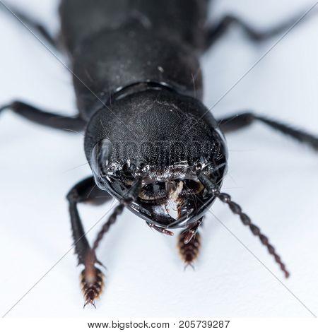Devil's Coach Horse Beetle On A White Underground