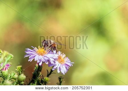 Bee moving from flower to flower pollinating as it goes.