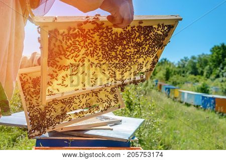 Honeycomb. The beekeeper works with bees near the hives. Apiary.