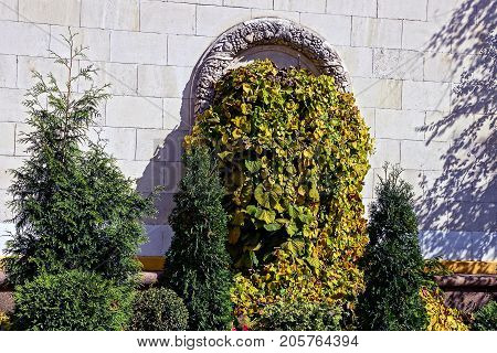 Overgrown vegetation wall of the old house and decorative firs and bushes in the courtyard