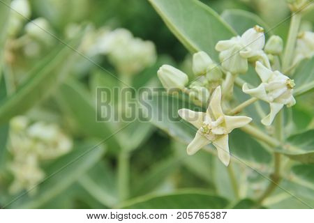 White flowers, Giant Indian Milkweed. Picture with copy space.