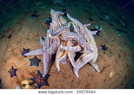 Starfishes Spawning In Sea Of Japan In Late October, Russia