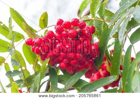 Red ashberry after rain in the sun among the green leaves of a tree