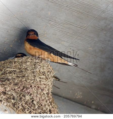 Beautiful Isolated Picture With A Swift In A Nest