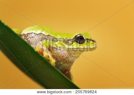 close up of cute Hyla arborea the european green tree frog standing on a leaf