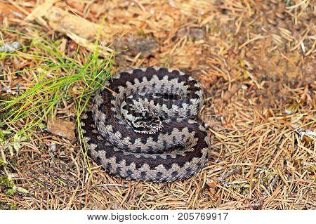 common crossed european viper on forest ground ( Vipera berus )