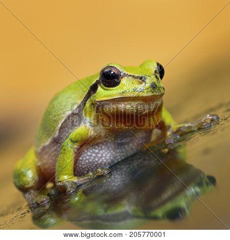 cute green tree frog full length image ( Hyla arborea )