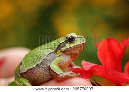 cute green tree frog in spring setting ( Hyla arborea )