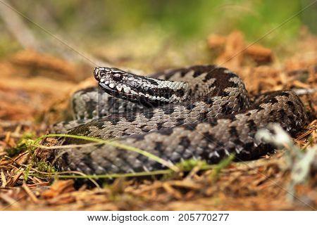 european common crossed viper standing on forest ground ( Vipera berus )
