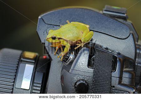 green tree frog standing on photo camera ( Hyla arborea )