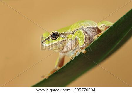 hyla arborea on a leaf the cute european green tree frog