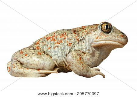 isolated full length Pelobates fuscus the spedefoot or garlic toad