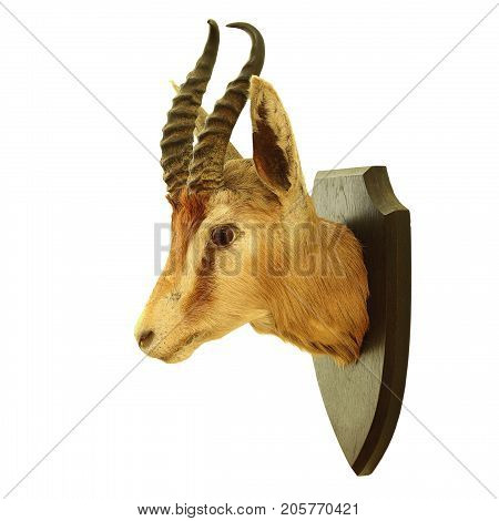 hunting trophy of Antidorcas marsupialis isolated over white background the springbok antelope