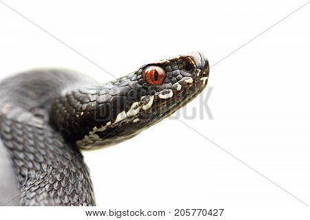 isolated portrait of black common viper ( Vipera berus isolation over white background )