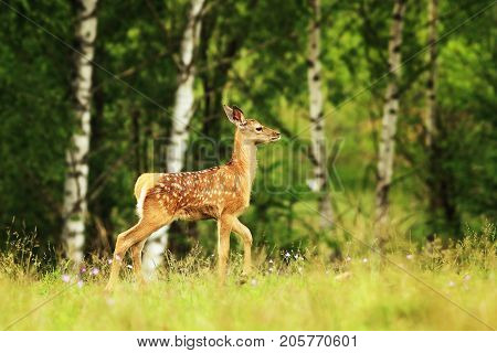 red deer youngster passing a glade ( Cervus elaphus )